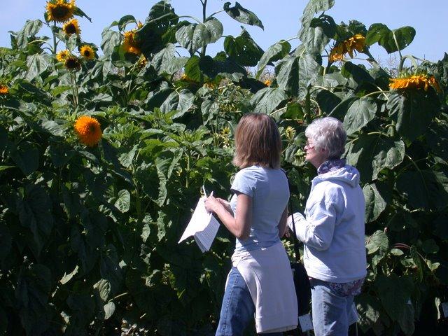 Field Day Sunflower
