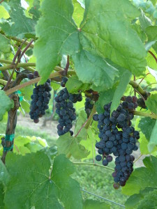 Trollhaugen - Blue Seedless Table Grape