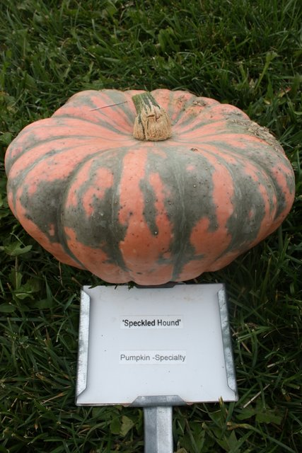 'Speckled Hound'  Winter Squash