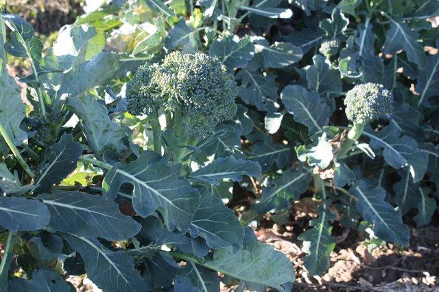 Broccoli 'Diplomat'