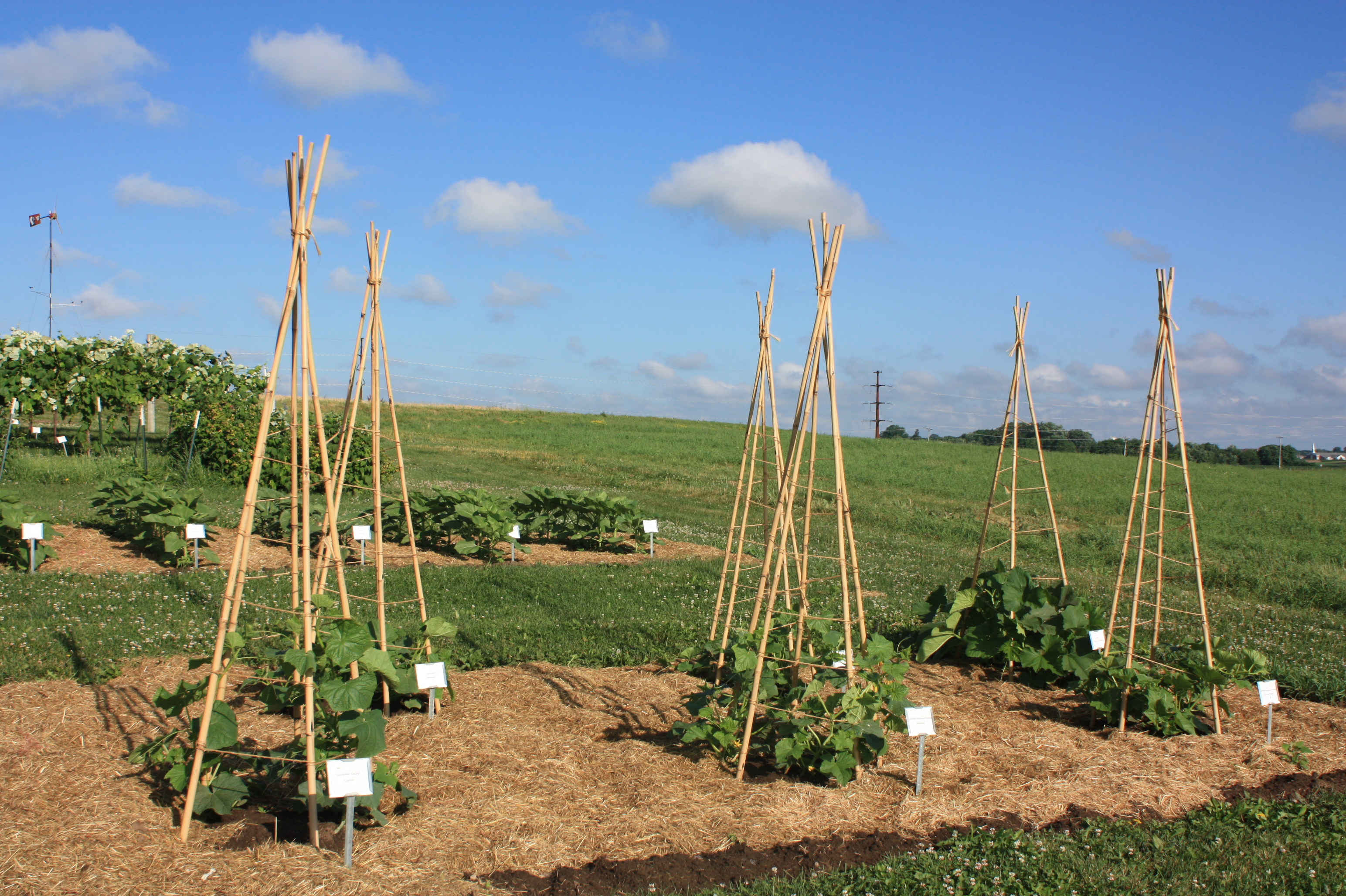 Trellising of Cucumbers