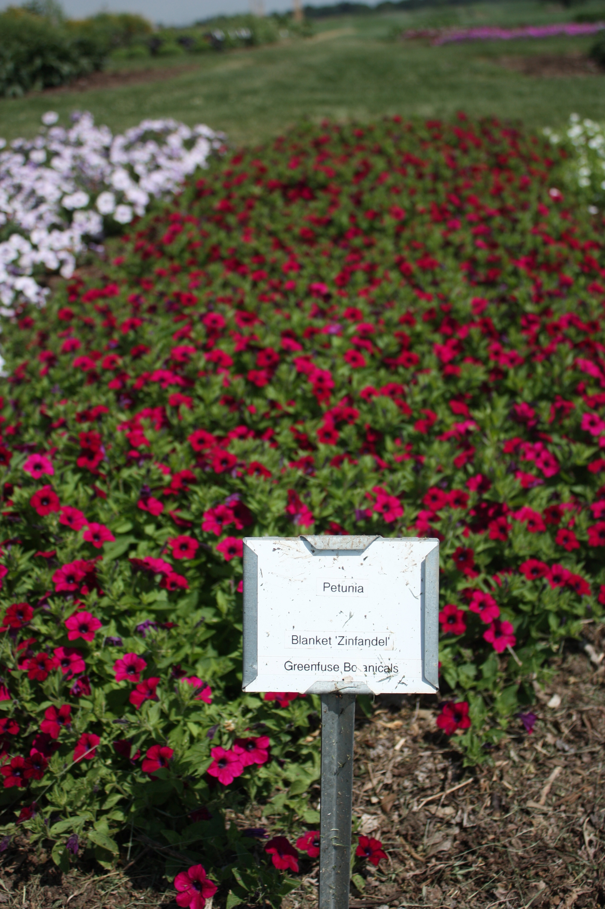 Hundreds Of New Annual Flowers Featured At University Display