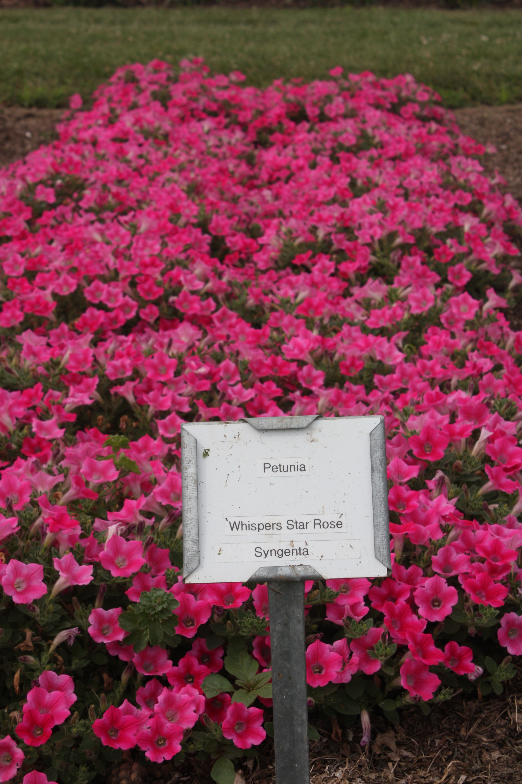 Whisper Star Rose - Petunia