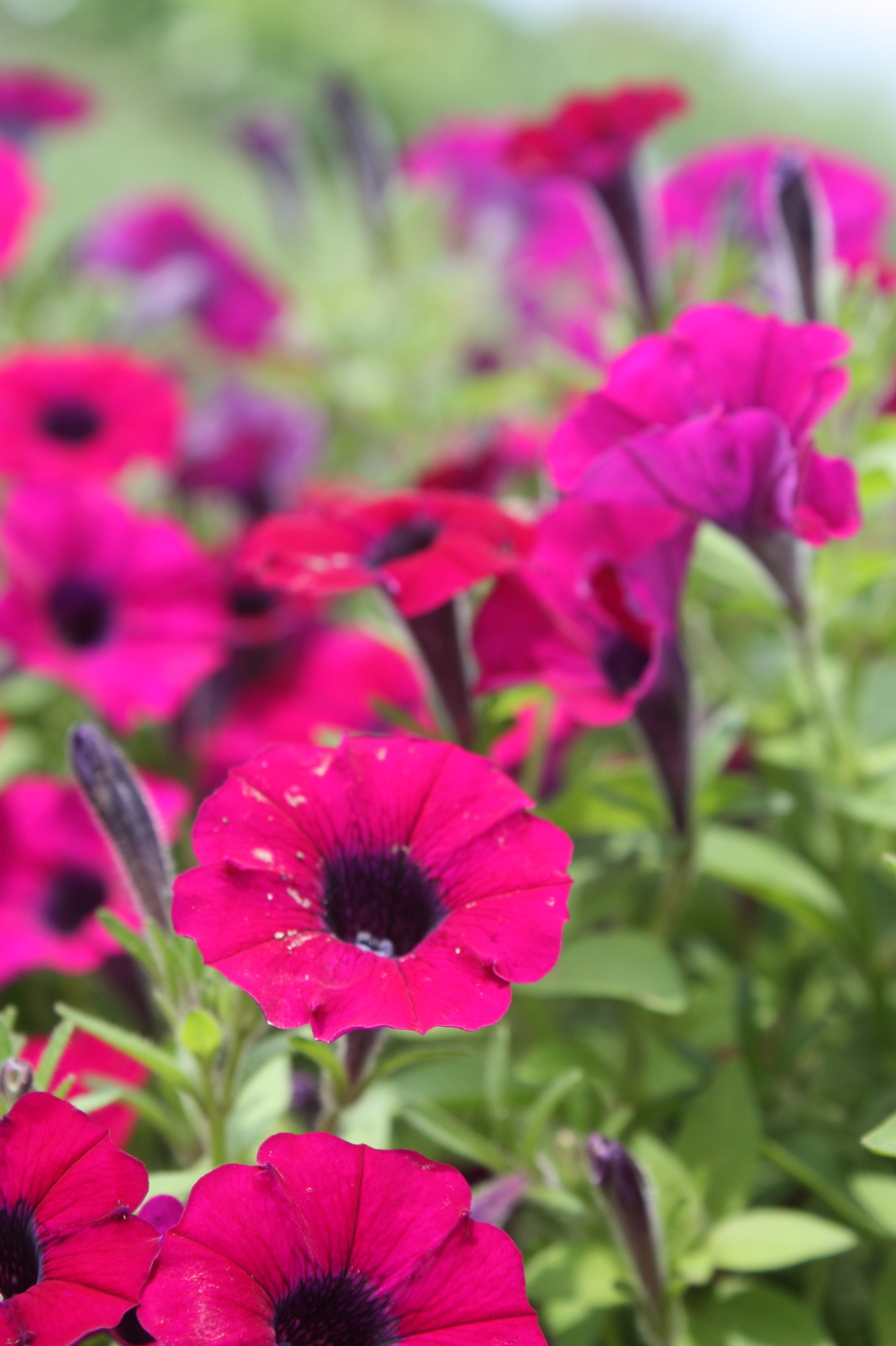 annual flowers | West ...