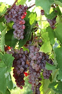 Vanessa Seedless Table Grapes