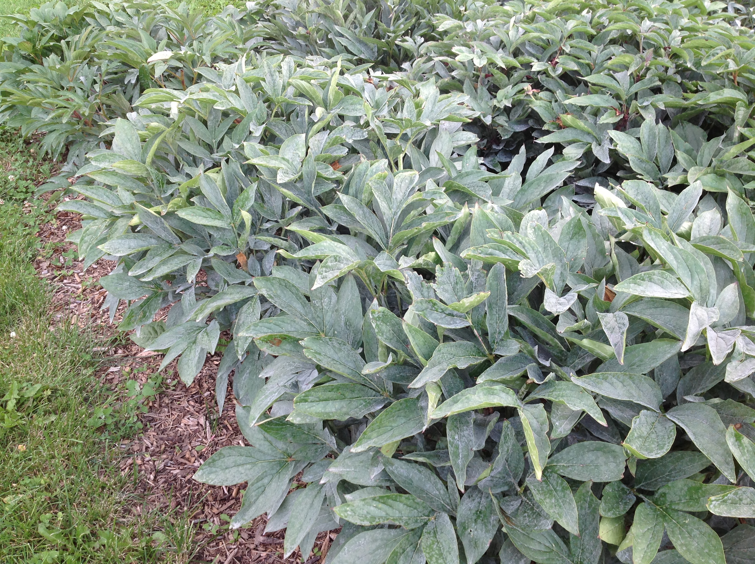 Comparing And Contrasting Powdery Mildew From Downy